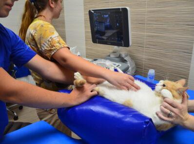 Ультразвуковое исследование (УЗИ) в госпитале ВетМир в Севастополе