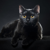 British black cat isolated on black background