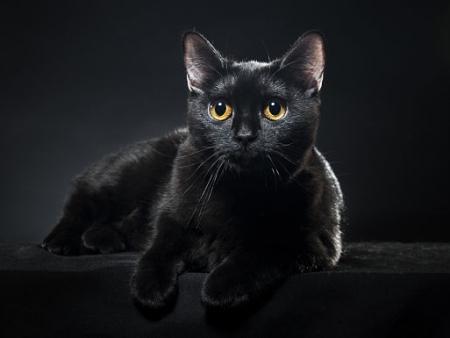 British black cat isolated on black background