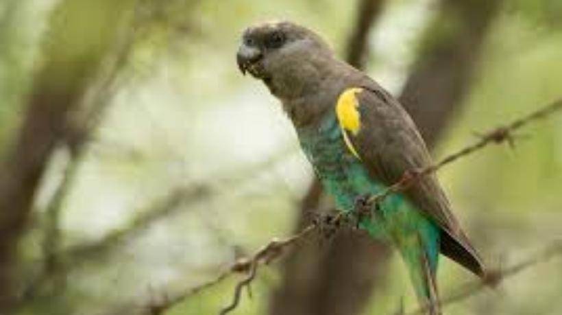 Мейеров длиннокрылый попугай 3