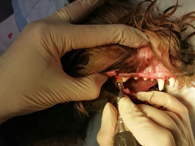Ультразвуковая чистка зубов собаке и кошке