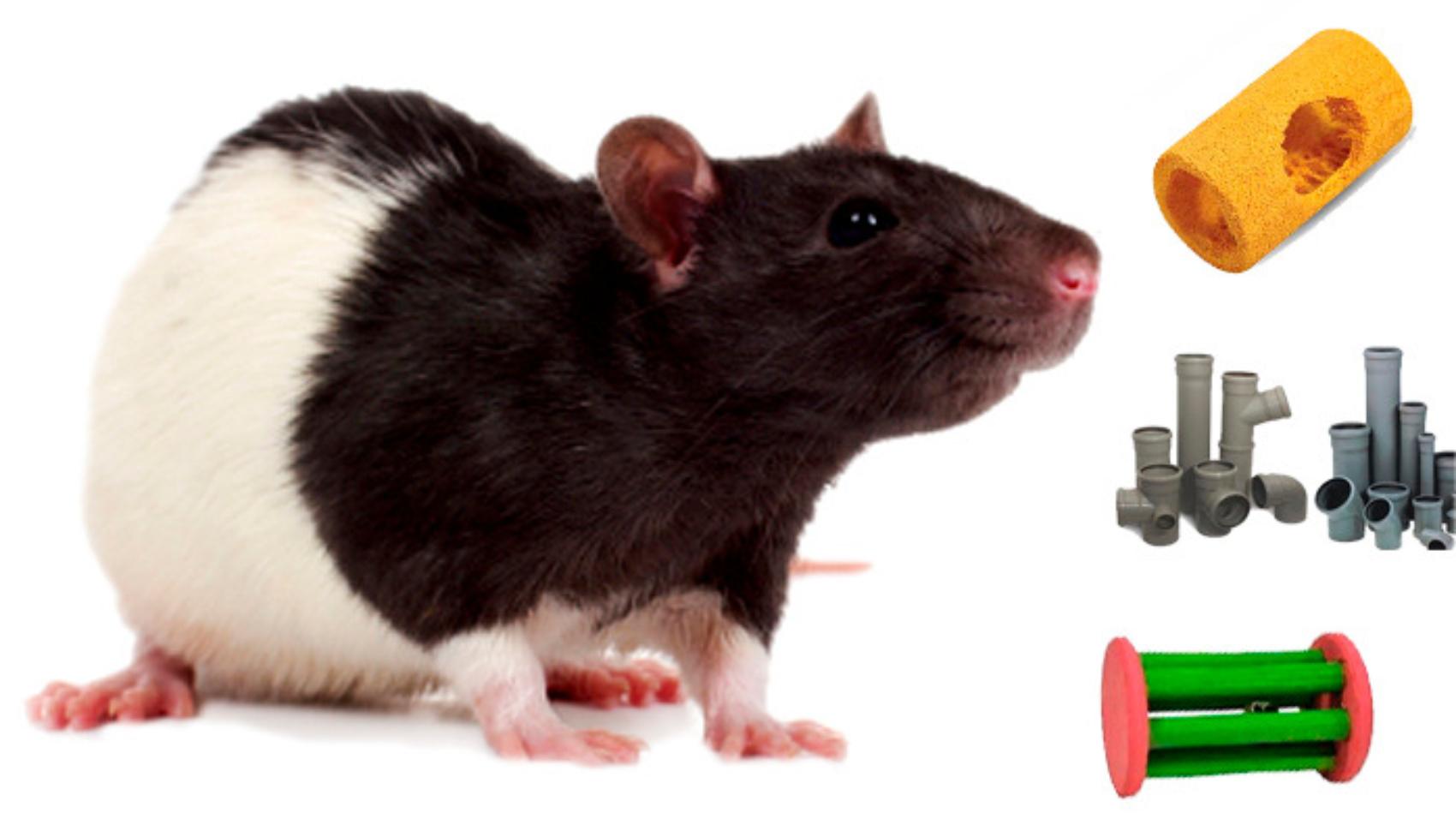 rat_mouse_PNG2458