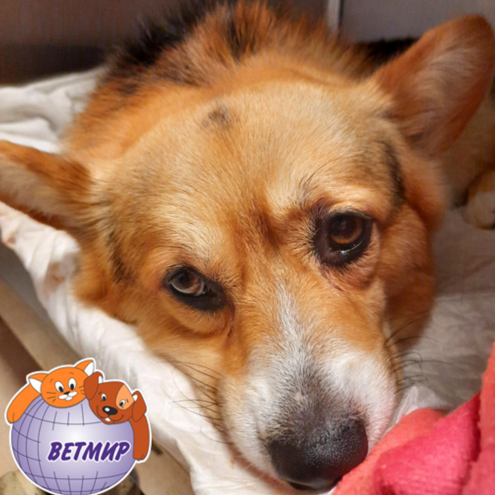 Инфекционные заболевания собак, вызванные парвовирусом