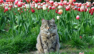 Тюльпаны – яд для кота?