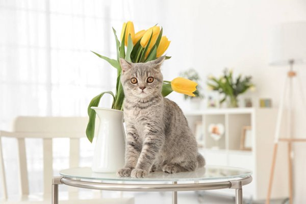 тюльпаны - яд для кота