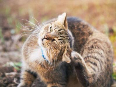 Отодектоз: ушной клещ у кошек