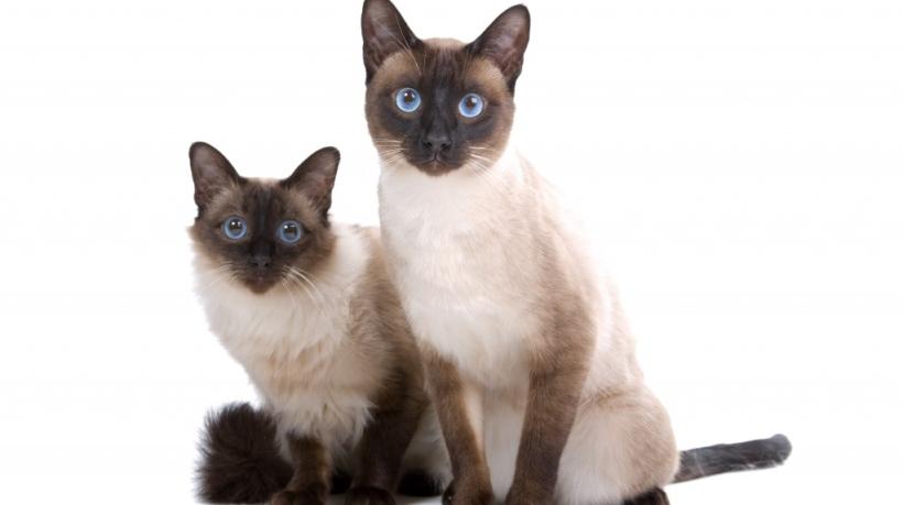 balinezijskaya-koshka-balijskaya