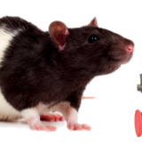 rat_mouse_PNG2458
