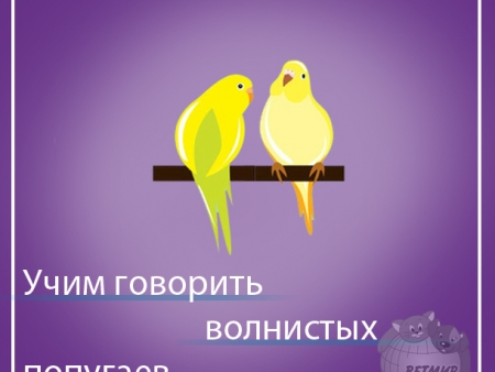 Учим говорить попугая